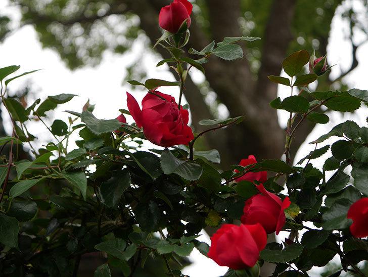 フロレンティーナ(ツルバラ)の花がたくさん咲いた。2020年-001.jpg