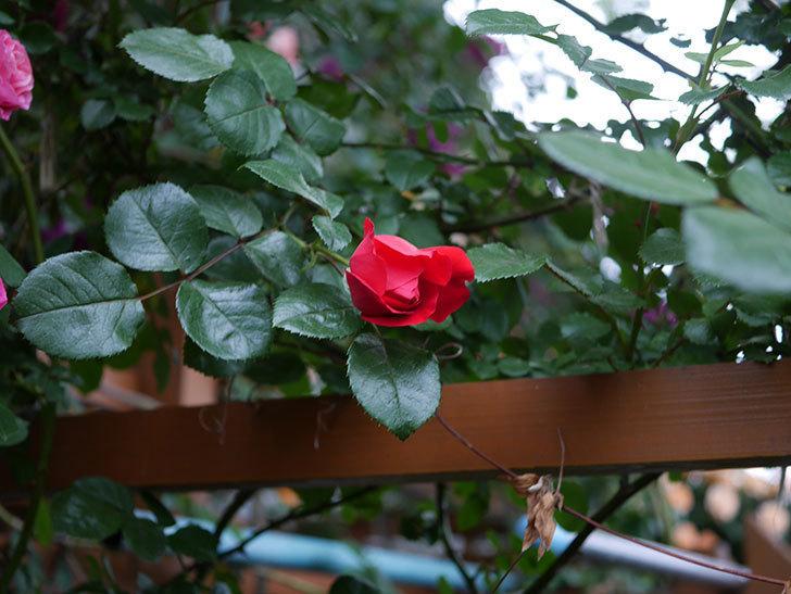 フロレンティーナ(ツルバラ)の花がたくさん咲いた。2020年-003.jpg