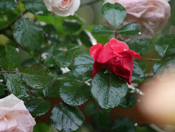 フロレンティーナ(ツルバラ)の花がたくさん咲いた。2020年-005.jpg