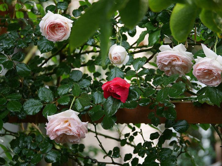 フロレンティーナ(ツルバラ)の花がたくさん咲いた。2020年-006.jpg