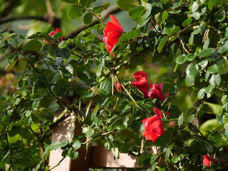 フロレンティーナ(ツルバラ)の花がたくさん咲いた。2020年-007.jpg
