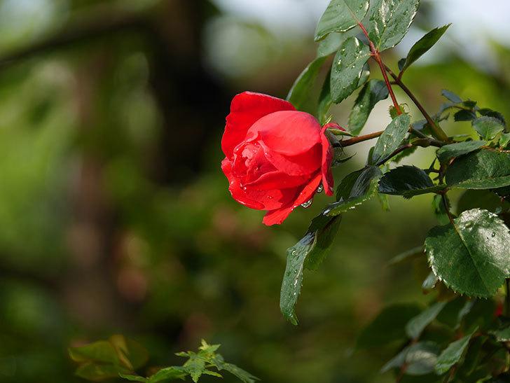 フロレンティーナ(ツルバラ)の花がたくさん咲いた。2020年-009.jpg