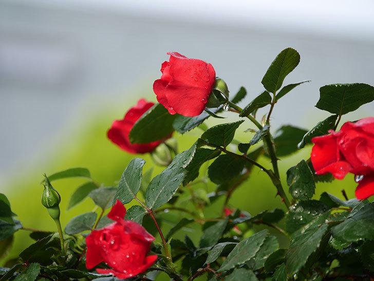 フロレンティーナ(ツルバラ)の花がたくさん咲いた。2020年-010.jpg