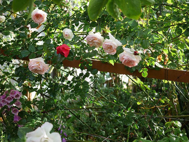 フロレンティーナ(ツルバラ)の花がたくさん咲いた。2020年-011.jpg