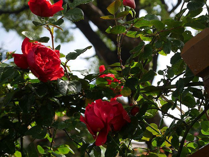 フロレンティーナ(ツルバラ)の花がたくさん咲いた。2020年-012.jpg
