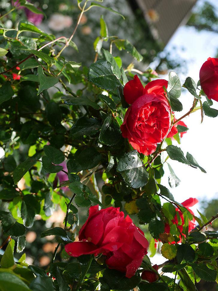 フロレンティーナ(ツルバラ)の花がたくさん咲いた。2020年-014.jpg