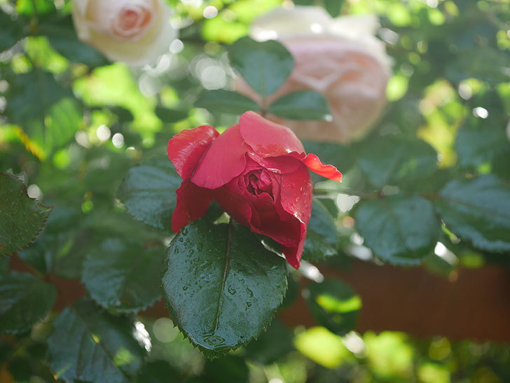 フロレンティーナ(ツルバラ)の花がたくさん咲いた。2020年-015.jpg