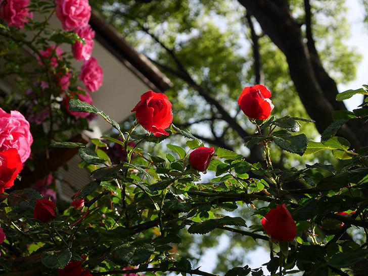フロレンティーナ(ツルバラ)の花がたくさん咲いた。2020年-016.jpg