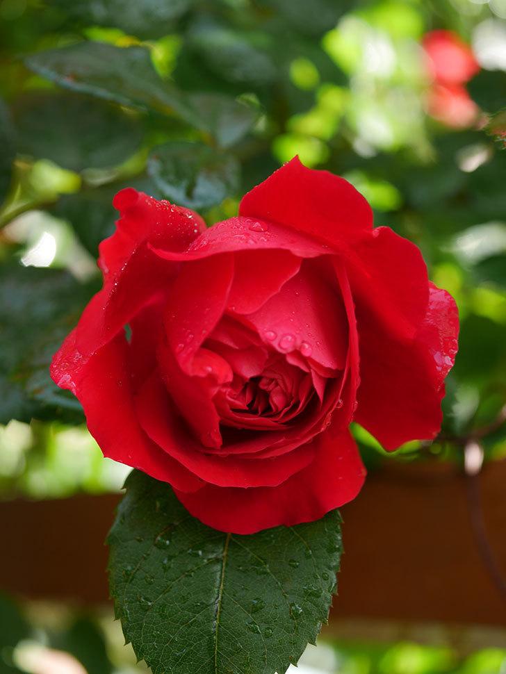 フロレンティーナ(ツルバラ)の花がたくさん咲いた。2020年-017.jpg