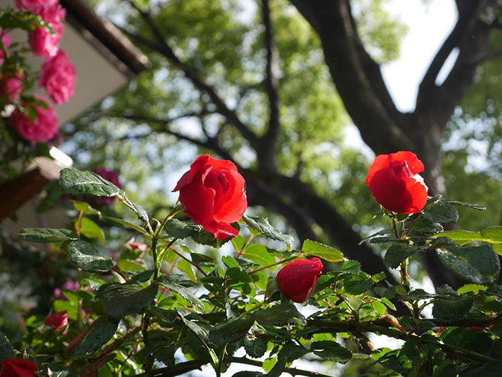 フロレンティーナ(ツルバラ)の花がたくさん咲いた。2020年-018.jpg