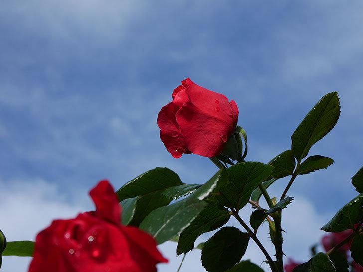 フロレンティーナ(ツルバラ)の花がたくさん咲いた。2020年-020.jpg