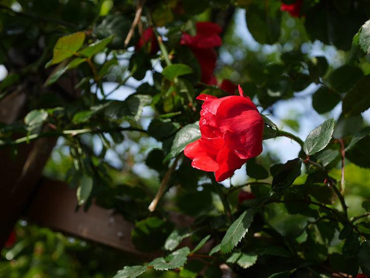 フロレンティーナ(ツルバラ)の花がたくさん咲いた。2020年-021.jpg