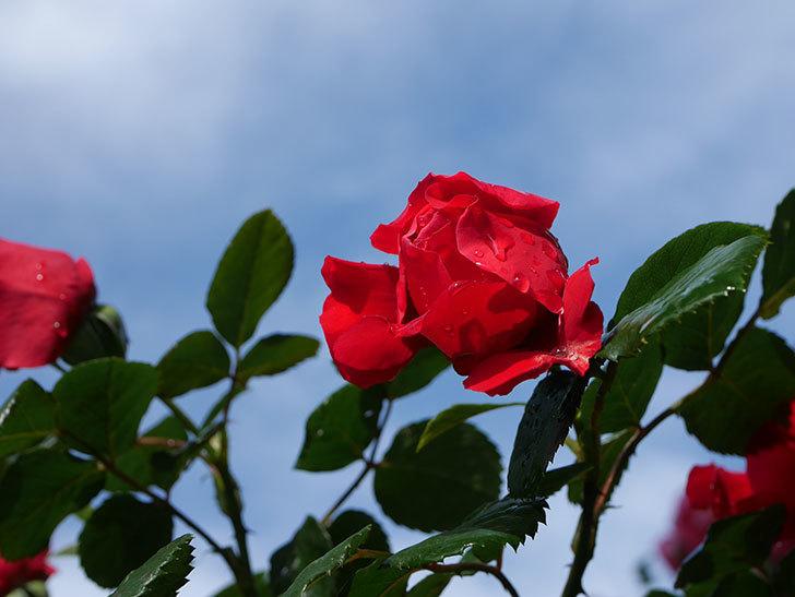 フロレンティーナ(ツルバラ)の花がたくさん咲いた。2020年-022.jpg