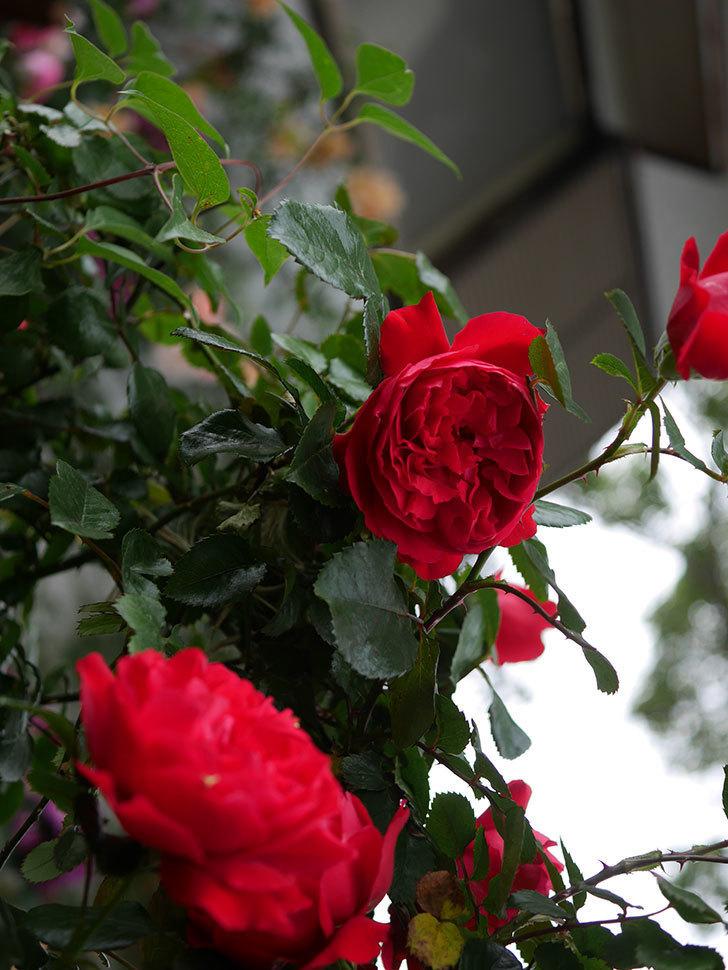 フロレンティーナ(ツルバラ)の花がたくさん咲いた。2020年-023.jpg