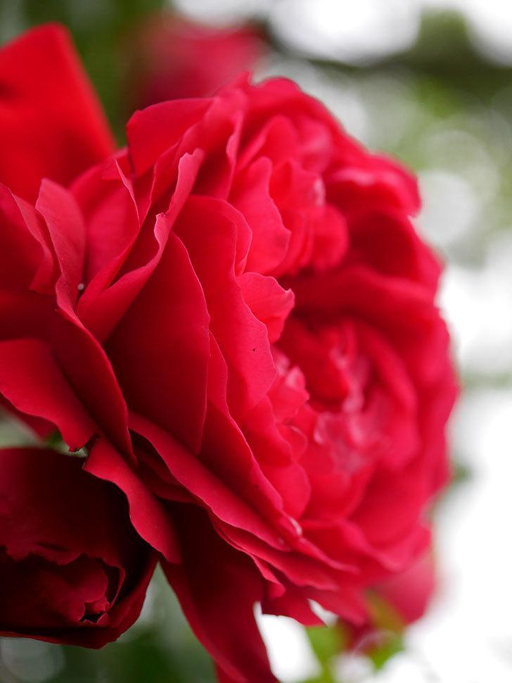 フロレンティーナ(ツルバラ)の花がたくさん咲いた。2020年-024.jpg