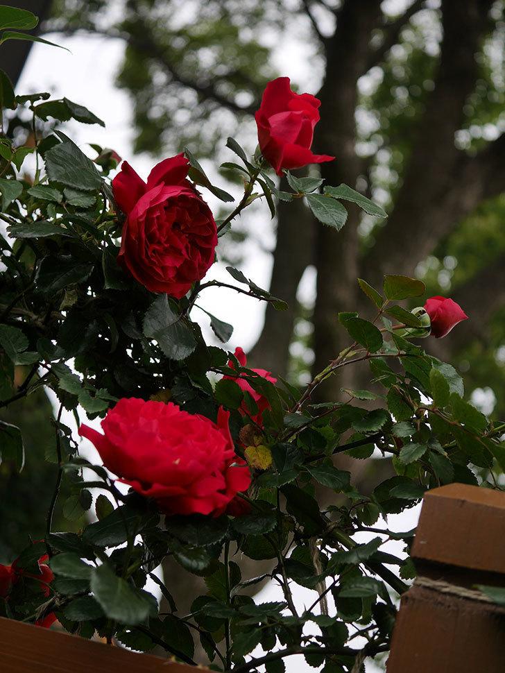 フロレンティーナ(ツルバラ)の花がたくさん咲いた。2020年-025.jpg