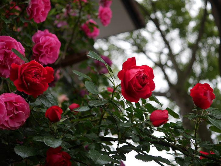 フロレンティーナ(ツルバラ)の花がたくさん咲いた。2020年-028.jpg