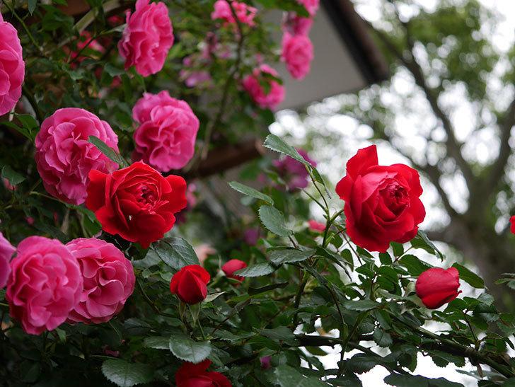 フロレンティーナ(ツルバラ)の花がたくさん咲いた。2020年-029.jpg