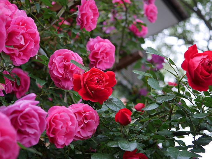フロレンティーナ(ツルバラ)の花がたくさん咲いた。2020年-031.jpg