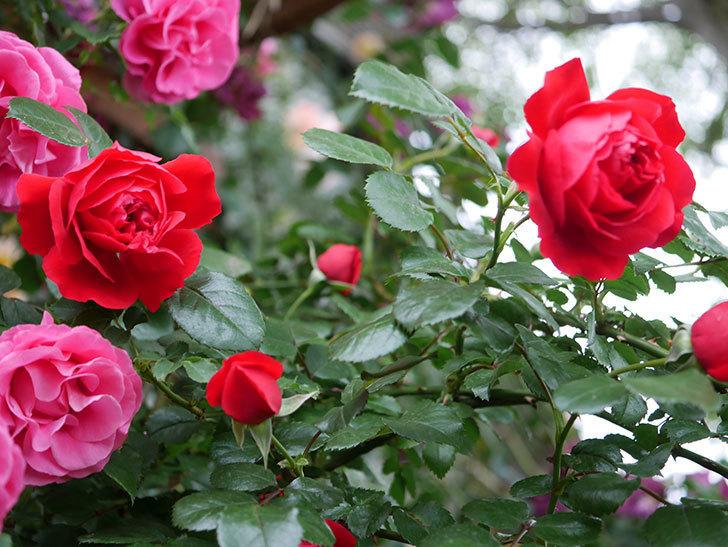 フロレンティーナ(ツルバラ)の花がたくさん咲いた。2020年-033.jpg