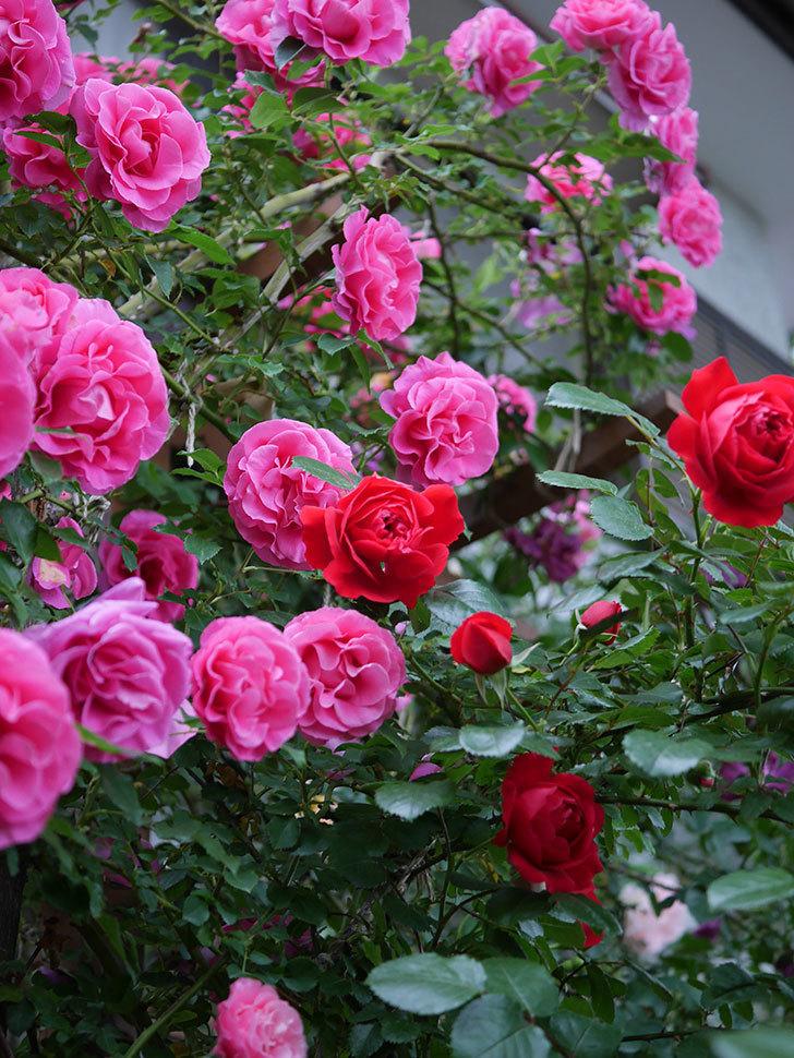 フロレンティーナ(ツルバラ)の花がたくさん咲いた。2020年-040.jpg