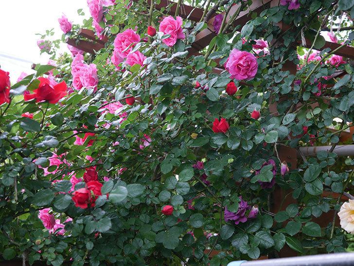 フロレンティーナ(ツルバラ)の花がたくさん咲いた。2020年-041.jpg