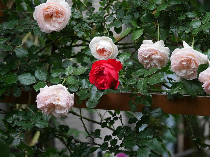 フロレンティーナ(ツルバラ)の花がたくさん咲いた。2020年-044.jpg