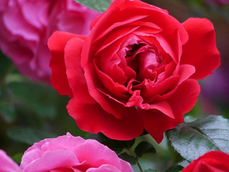 フロレンティーナ(ツルバラ)の花がたくさん咲いた。2020年-049.jpg