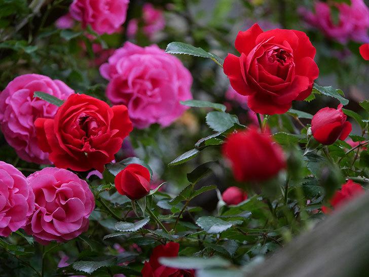 フロレンティーナ(ツルバラ)の花がたくさん咲いた。2020年-051.jpg