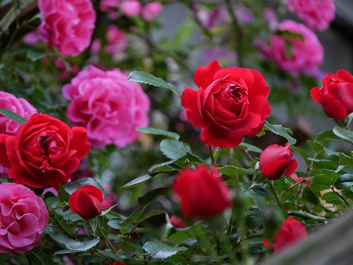 フロレンティーナ(ツルバラ)の花がたくさん咲いた。2020年-054.jpg