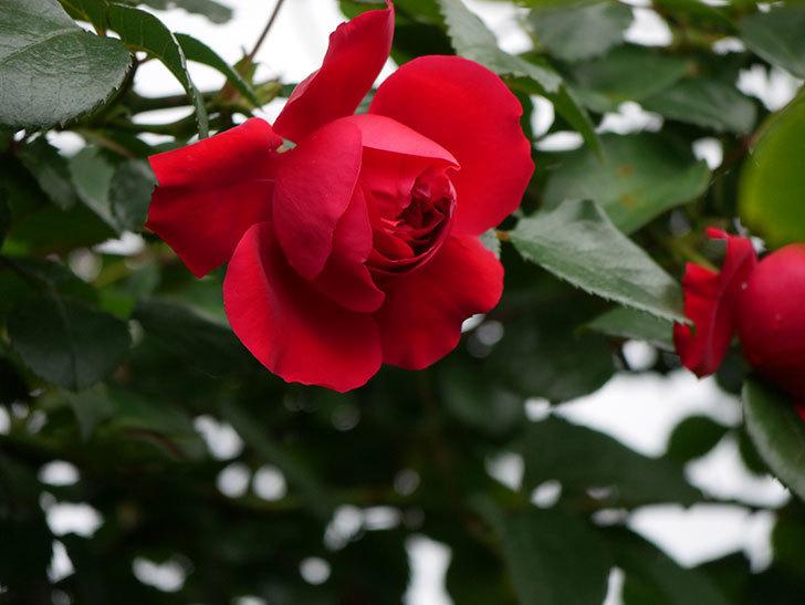 フロレンティーナ(ツルバラ)の花がたくさん咲いた。2020年-056.jpg