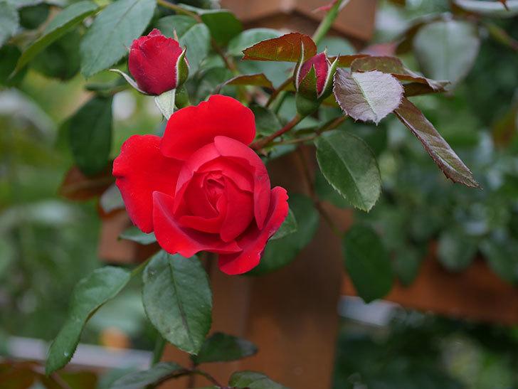 フロレンティーナ(ツルバラ)の花がまた咲いた。2019年-1.jpg