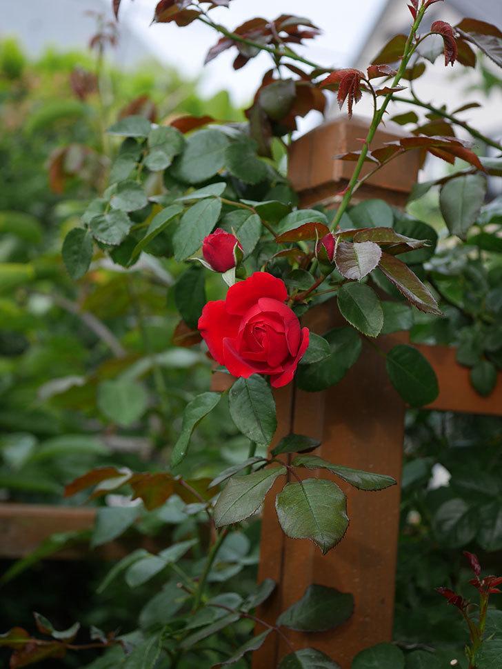 フロレンティーナ(ツルバラ)の花がまた咲いた。2019年-4.jpg