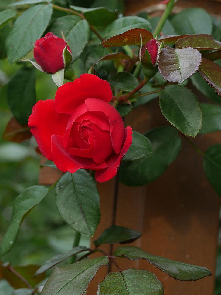 フロレンティーナ(ツルバラ)の花がまた咲いた。2019年-5.jpg