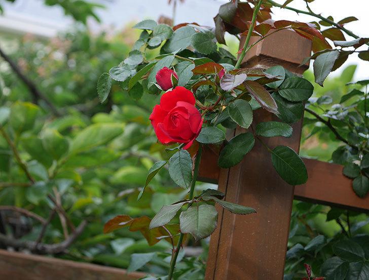 フロレンティーナ(ツルバラ)の花がまた咲いた。2019年-6.jpg