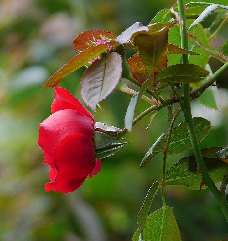 フロレンティーナ(ツルバラ)の花がまた咲いた。2019年-8.jpg