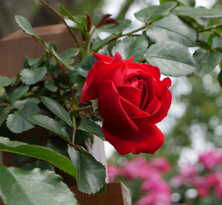フロレンティーナ(ツルバラ)の花が咲いた。2019年-1.jpg