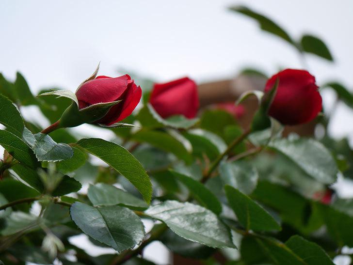 フロレンティーナ(ツルバラ)の花が咲いた。2019年-10.jpg