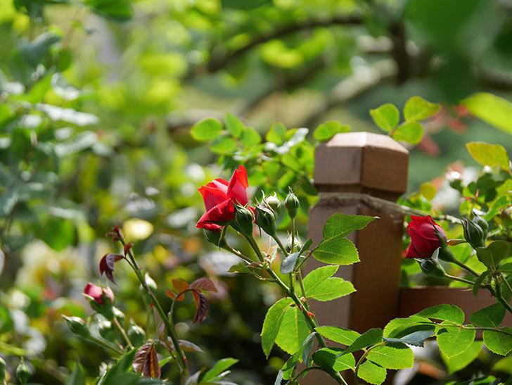 フロレンティーナ(ツルバラ)の花が咲いた。2019年-11.jpg