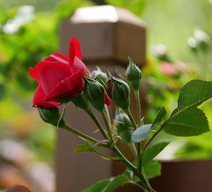 フロレンティーナ(ツルバラ)の花が咲いた。2019年-12.jpg