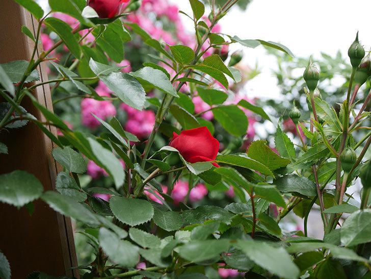 フロレンティーナ(ツルバラ)の花が咲いた。2019年-3.jpg