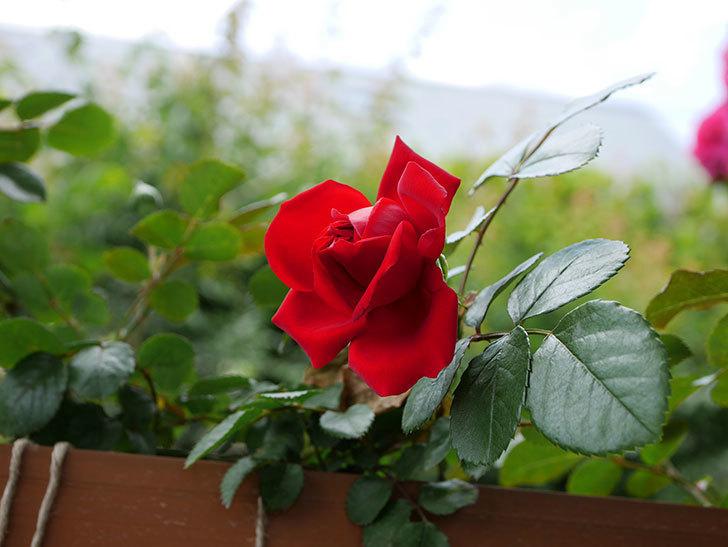 フロレンティーナ(ツルバラ)の花が咲いた。2019年-4.jpg