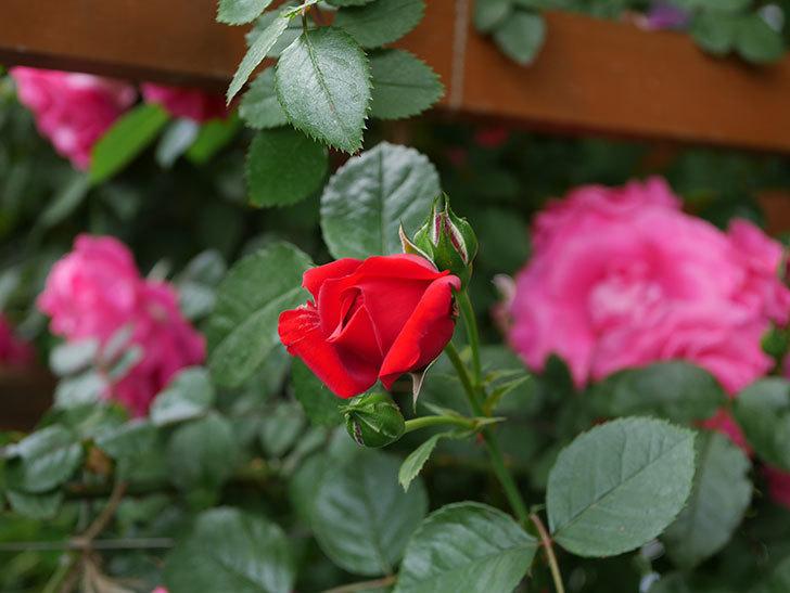 フロレンティーナ(ツルバラ)の花が咲いた。2019年-6.jpg