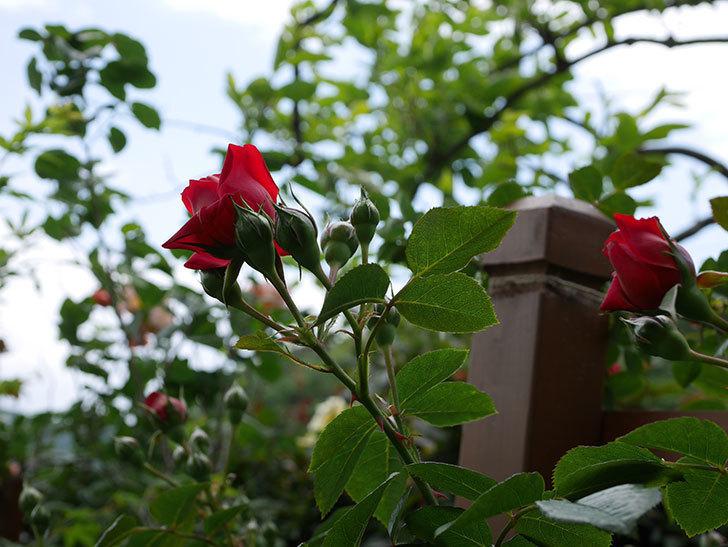 フロレンティーナ(ツルバラ)の花が咲いた。2019年-7.jpg