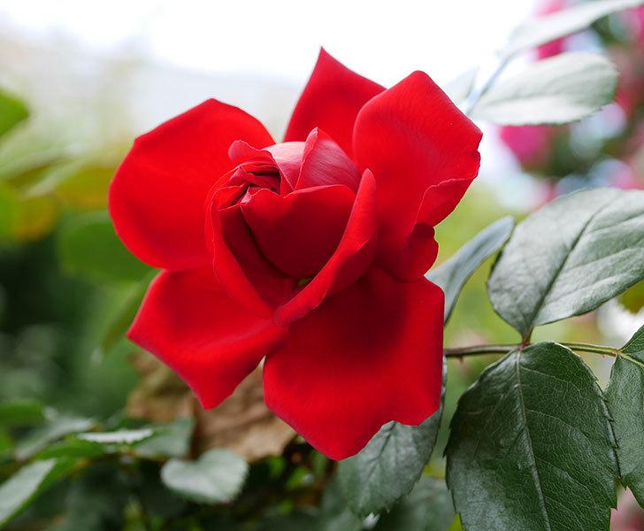 フロレンティーナ(ツルバラ)の花が咲いた。2019年-8.jpg