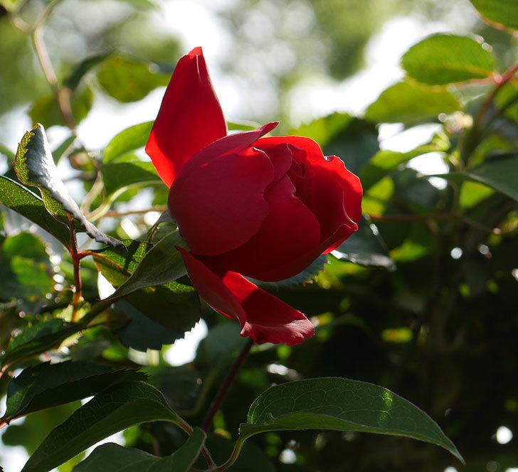 フロレンティーナ(ツルバラ)の花が咲きだした。2020年-1.jpg