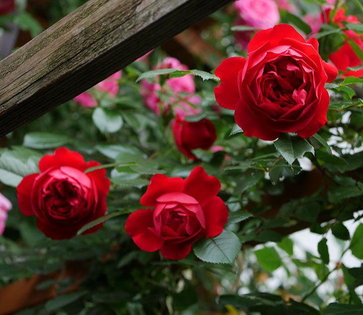 フロレンティーナ(ツルバラ)の花が増えて来た。2018年-1.jpg