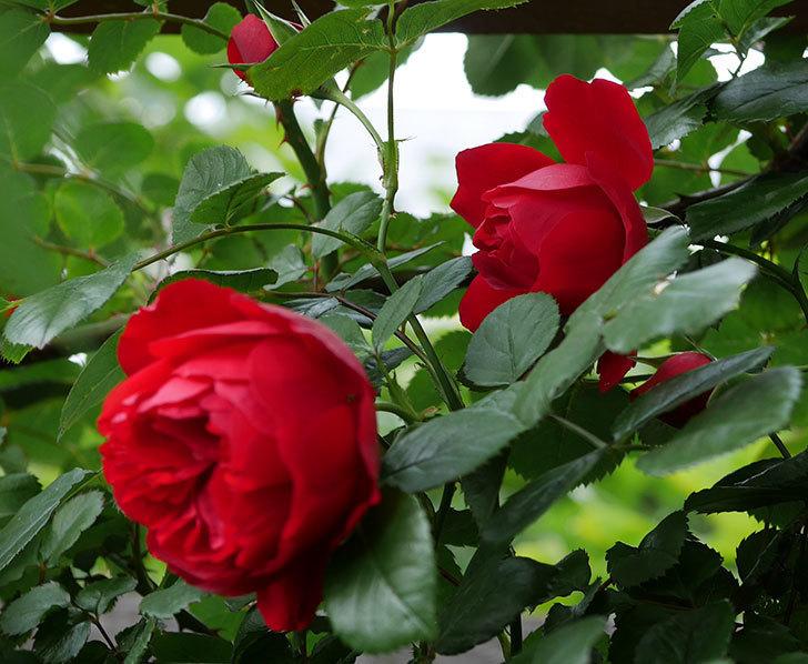 フロレンティーナ(ツルバラ)の花が増えて来た。2018年-10.jpg