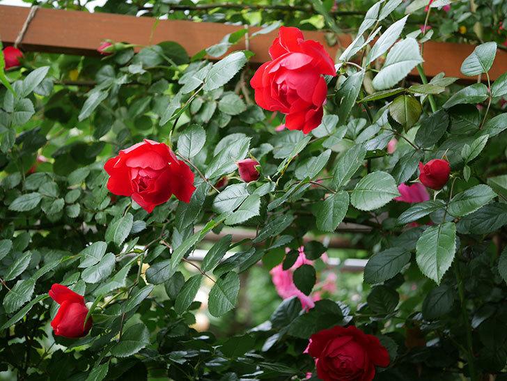 フロレンティーナ(ツルバラ)の花が増えて来た。2018年-11.jpg