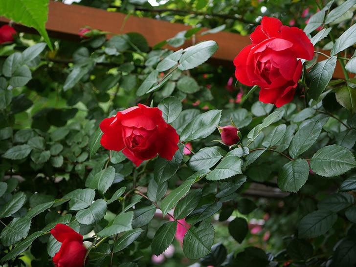 フロレンティーナ(ツルバラ)の花が増えて来た。2018年-13.jpg